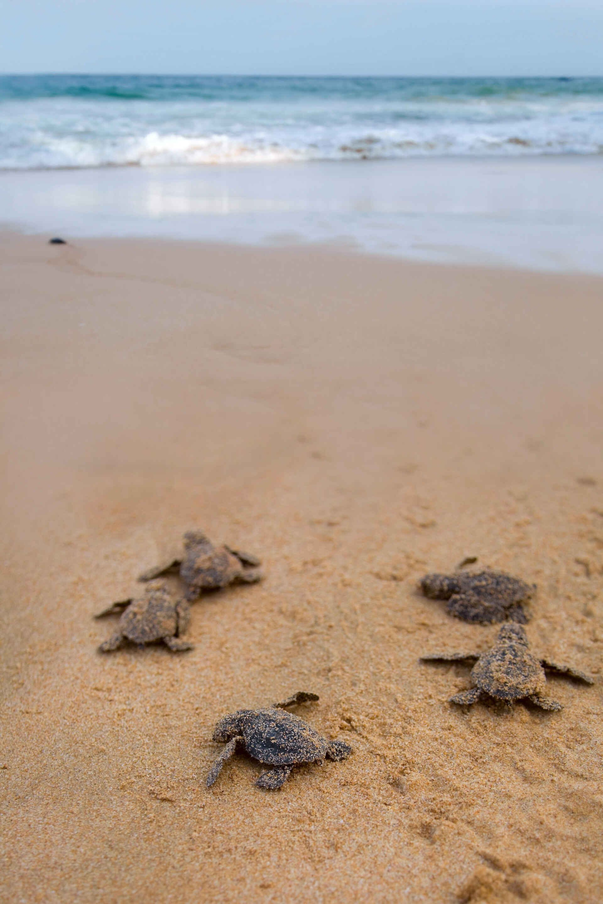 Turtles in Greece can be spotted at Selenitsa beach.