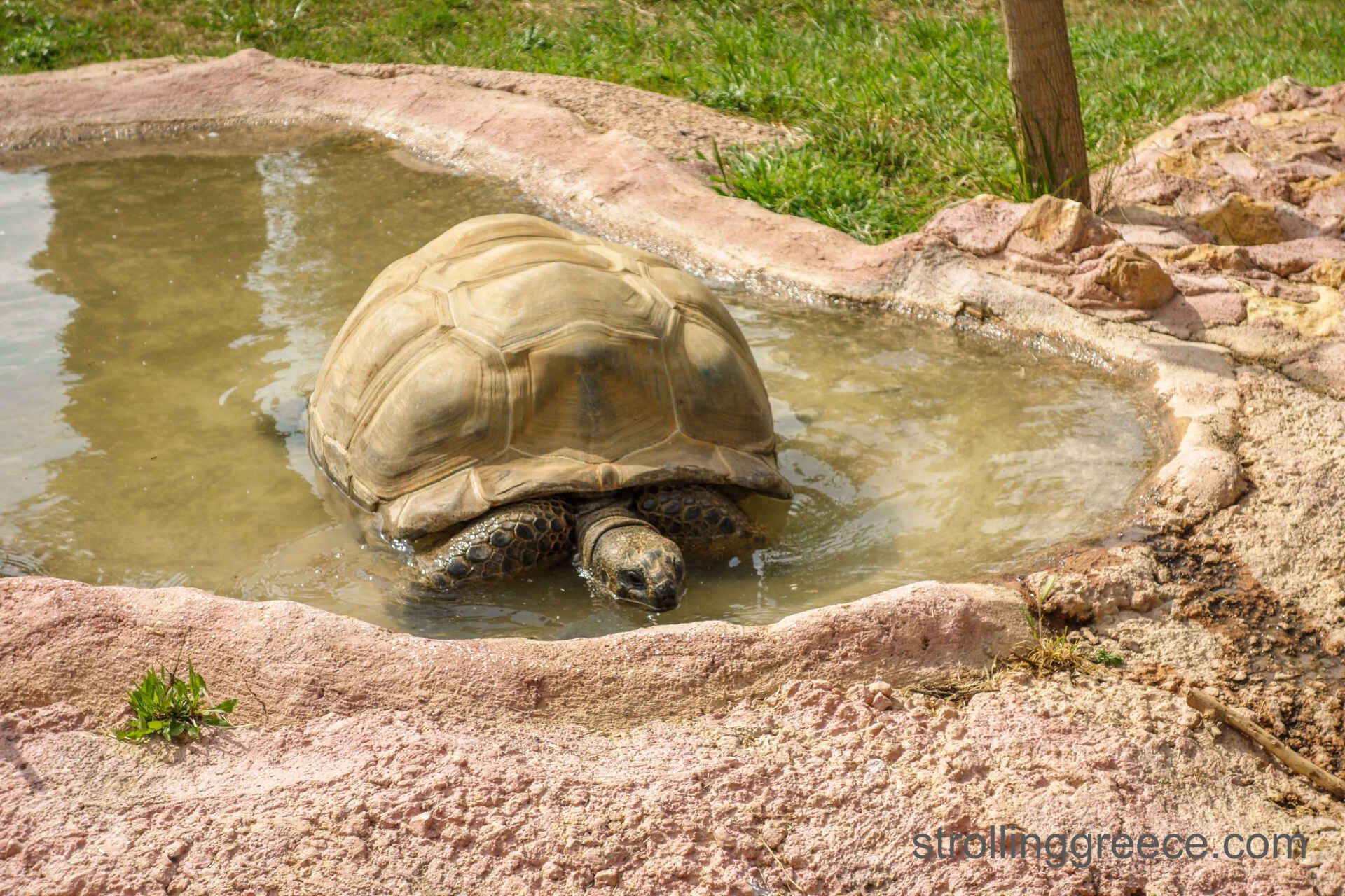 Giant turtle in Greece zoo
