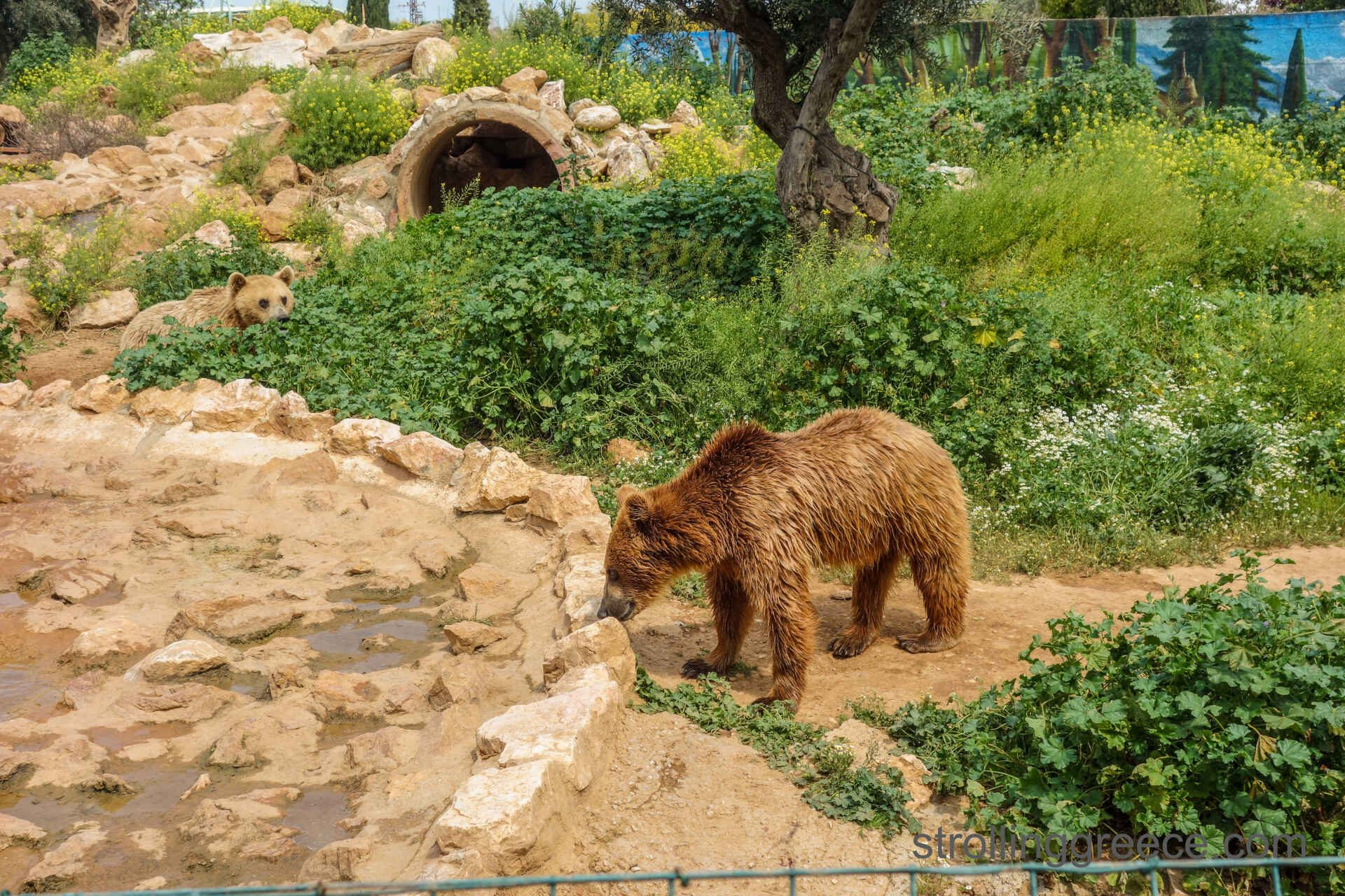 Attica zoo park, the brown bears