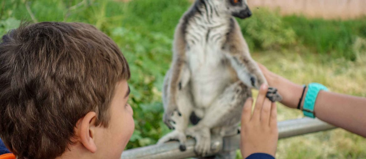 Feeding time of the Lemurs in the zoo in Greece